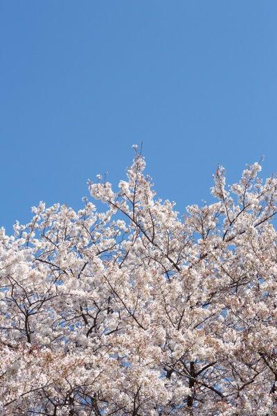 お花見季節です。桜には驚くべき美容効果があった!