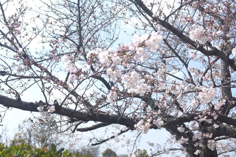 万代池公園にて花見をしてみた。